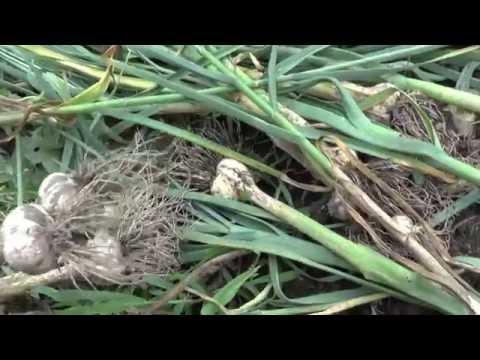Выращиваем чеснок правильно. Уход, размножение. Озимый
