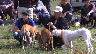 Масштабная выставка охотничьих собак прошла в Шымкенте