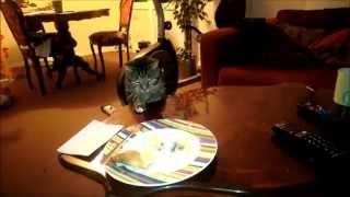 Cat thief - Kot złodziej funny cats funny animals / śmieszne koty śmieszne zwierzęta