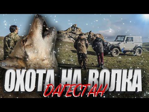 Охота на волка в Дагестане. Стая волков разорвала лошадь. Выстрел на 240 метров. Попадание в кадре.