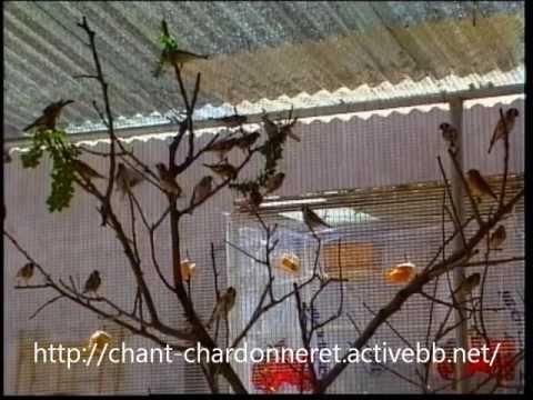 Reportage sur la reproduction des chardonnerets ! espagnol complet !!