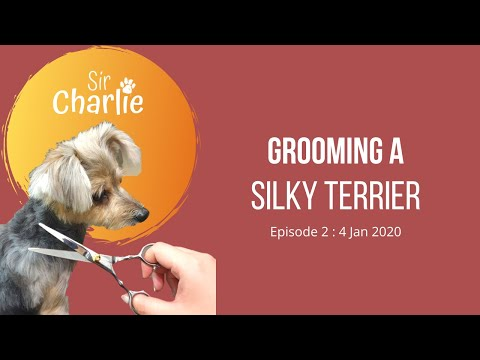 Grooming a Silky Terrier  Episode 2