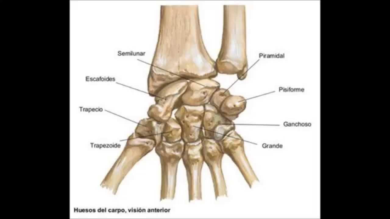 Huesos del Miembro Superior - YouTube