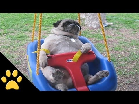 Pugs Are Awesome: Compilation