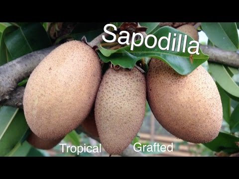 Grafted Tropical Sapodilla Fruit Tree - Growing Guide Chikoo