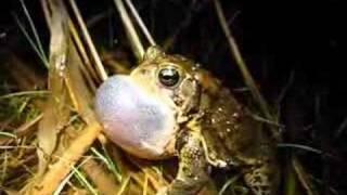 American toad (Bufo americanus) calling thumbnail