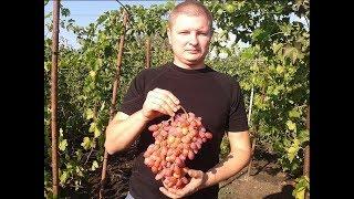 Сорт винограда Гелиос. Виноград 2014.