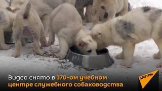 Щенята и взрослые служебные собаки  в новогоднем ролике от Министерства обороны России