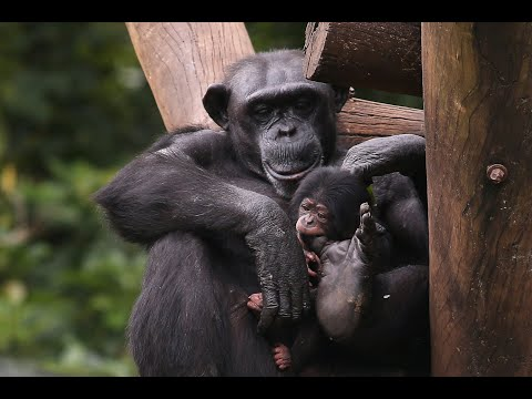 ولادة شمبانري من فصيلة مهددة بالانقراض في البرازيل  - نشر قبل 4 ساعة