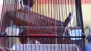 Download Video Suara Ciblek SAWAH, Pancingan MAnjur Buat Burung Murai, Cucak Ijo dan Kacer Nyamber Gledeeeeekkkk MP3 3GP MP4