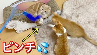 初めての全員対面で自分よりも大きな新入り猫に襲われる短足猫