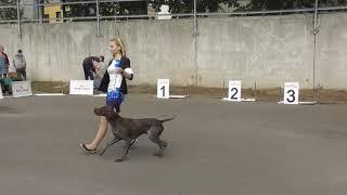 Немецкий курцхаар видео с выставки собак, породы собак