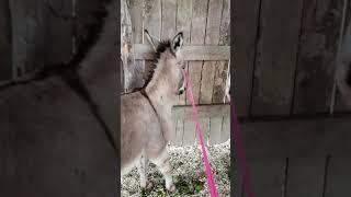 Taming my Donkey Concho Day 2
