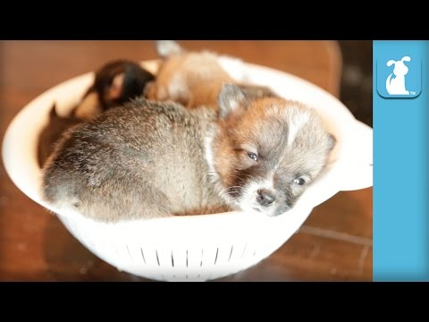Mini Corgi Puppies Curl Up For Nap Together  Puppy Love