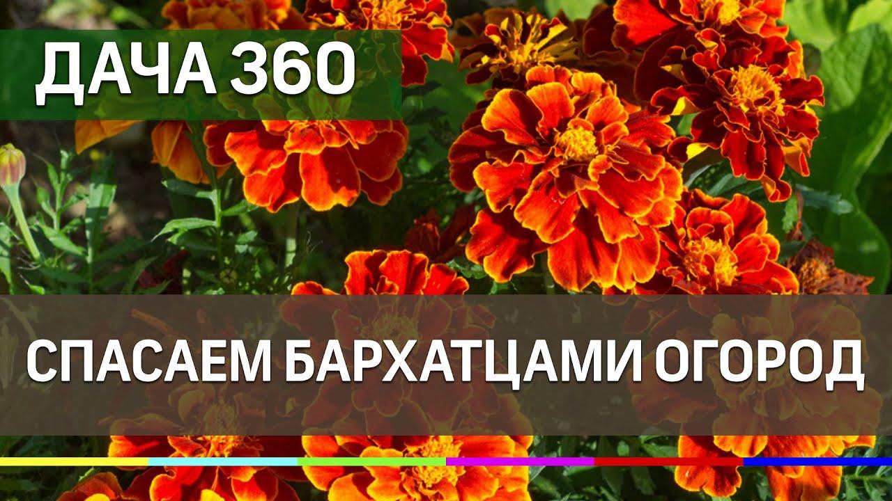 Спасаем бархатцами огород - ДАЧА 360