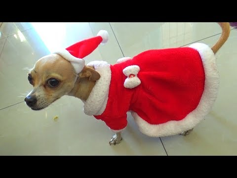 DISFRAZ NAVIDEÑO DE YESLY Y PÍCHU MI PERRITA CHIHUAHUA DOG | CHRISTMAS CUSTOMS