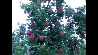 Gambar cover Pruning and Training Apple Trees