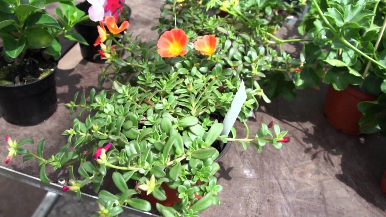 Trockenheitsresistente Beet Und Balkonpflanzen Dipladenien Carex