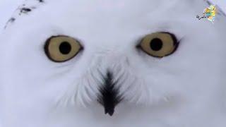 الطائر الابيض العجيب الذى لا يخشي الذئاب😬 إنظروا ماذا يفعل  ؟!