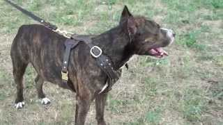 Royal Leather Dog Harness With Studs For Walking
