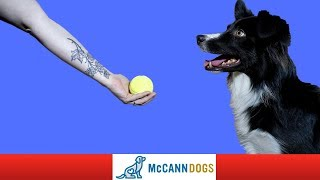 How To Train Your Dog To Drop A Ball DIRECTLY Into Your Hand - Professional Dog Training Tips