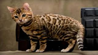 Top 10 Most Expensive Cat Breeds in the World 2020