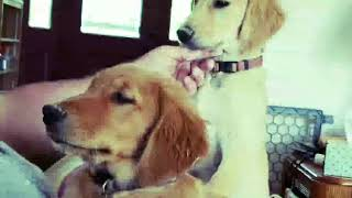 What Happens When Your Service Dog In Training Meets A Goat | What Happens When... 5