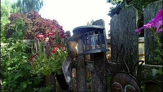 Wildlife camera: squirrels, a surprise rat and one pissed off Steller's Jay