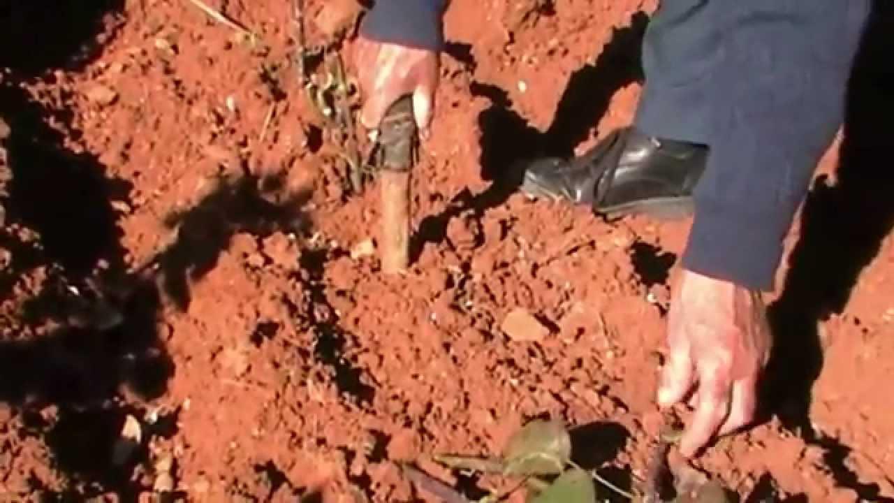 Potatura rose potatura e riproduzione per talea youtube for Riproduzione rose