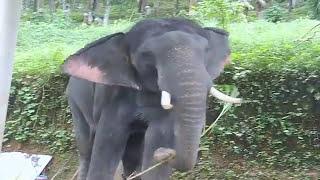 erekciós elefánt spárga és merevedés