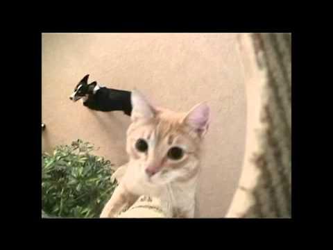 """QUIZ"" a dog wrestling, trick trained CAT"