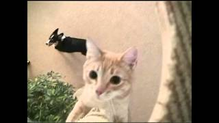 """QUIZ"" a dog wrestling, trick trained CAT"