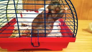 Крыса беременная
