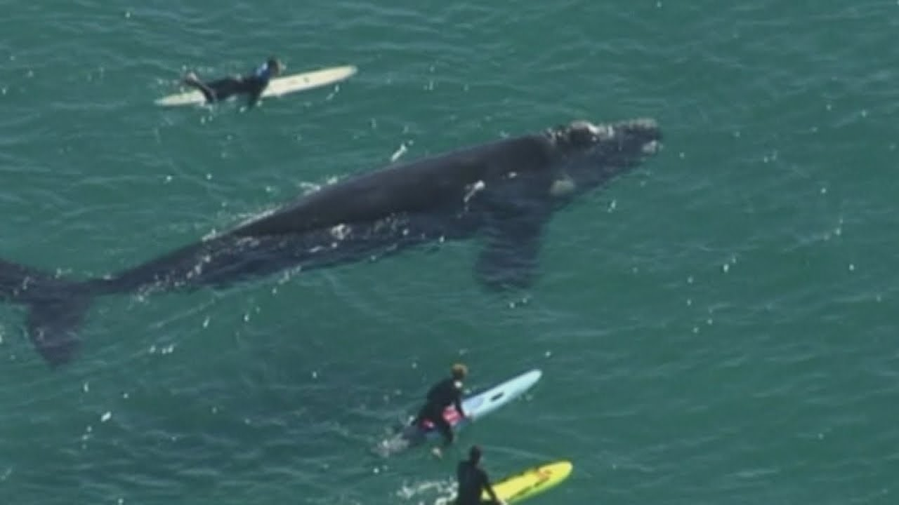 Giant whale lashes out at surfers in Sydney after they surround it