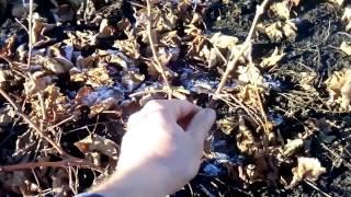 влияние температуры окружающей среды на виноград