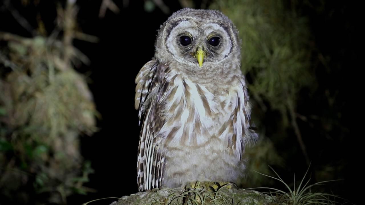 Barred Owl - Owling com