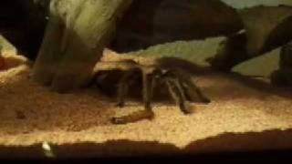 Rose Haired Tarantula Devours A Meal Worm.