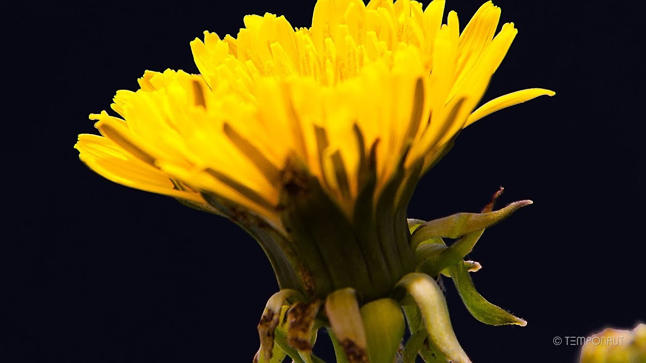 growing dandelion flower timelapse - youtube