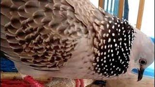 Gambar Suara Burung Terkukur Enak Didengar Buat Pikat Luar Biasa