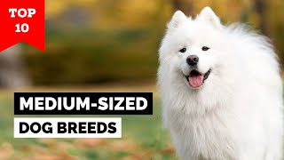 Top 10 Medium-Sized Dog Breeds In The World