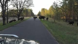 Żubry na drodze - Nadleśnictwo Drawsko