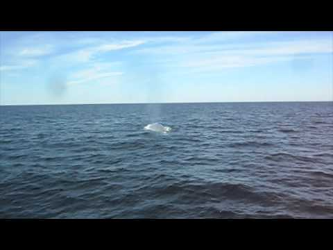 Bar Harbor Blue Whale Sighting- F/V Linda Sea- 9/4/2014