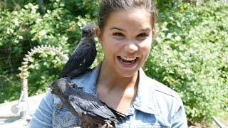Klug wie ein Rabe (Doku) | Information für Kinder | Anna und die wilden Tiere
