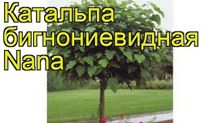 Катальпа бигнониевидная Нана. Краткий обзор, описание характеристик catalpa bignonioides Nana
