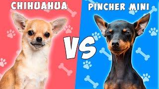 Chihuahua vs Pinscher  Quien gana?