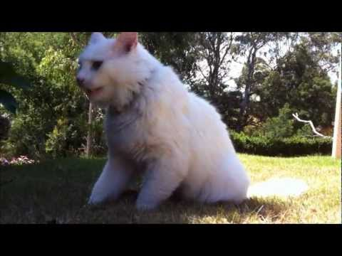 Cat swallows mouse whole. The great white (fluffy) hunter.