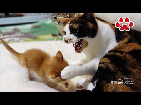 三毛猫が子猫にマジギレした瞬間【瀬戸の三毛猫日記】 Mike was angry to kitten Maya