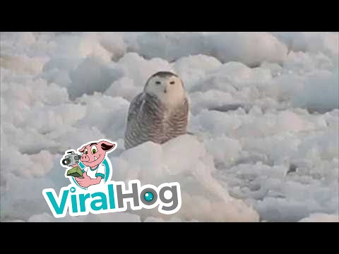 Snowy Owl Perched on Flowing Ice  || ViralHog