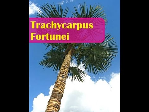 le trachycarpus fortunei un palmier dans son jardin youtube. Black Bedroom Furniture Sets. Home Design Ideas