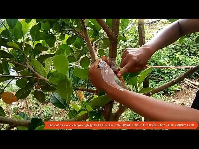Phương pháp chiết cây mít